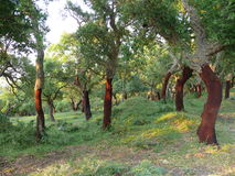 Forest of cork trees. Cork trees in Sicily, Italy Stock Photography