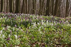Forest with corydalis flower in spring, Bad Iburg, Lower Saxony Royalty Free Stock Image