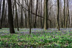 Forest with corydalis flowers spring landscape Royalty Free Stock Photos