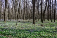 Forest with corydalis flowers spring landscape Royalty Free Stock Images