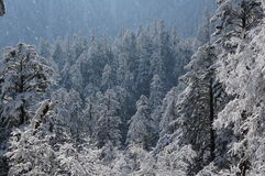 Forest coverd snow Stock Image
