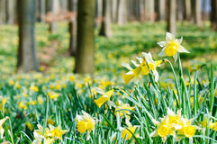 Forest covered with a daffodils carpet Royalty Free Stock Photography