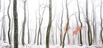 Forest covered with glaze ice. Snow and rime during foggy conditions. Oak trees, red leafs,woodland, winter landscape. Can be used as christmas image. Panoramic royalty free stock image