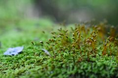 The forest covered with moss reminds us of primitive times. It is a layer only a few centimetres creates a sense thick green carpet covering all around stock photos