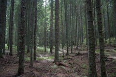 Forest covered with moss. Forest with trees covered with moss. Dog far in the picture Stock Image