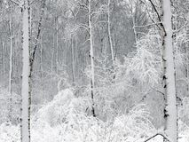 Forest, is covered with snow Royalty Free Stock Photo