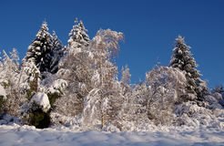Forest covered with snow Royalty Free Stock Photo