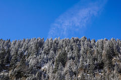 Forest covered by snow with clear blue sky in cold sunny winter day Stock Images