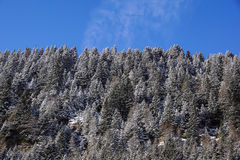 Forest covered by snow with clear blue sky in cold sunny winter day Royalty Free Stock Images