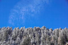 Forest covered by snow with clear blue sky in cold sunny winter day Stock Photography