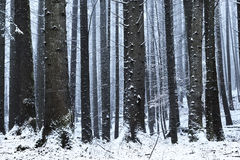 Forest covered in snow during winter Stock Image