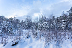 Forest Covered by Snow in Winter Landscape Royalty Free Stock Photos