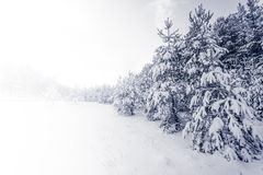 Forest Covered by Snow in Winter Landscape Stock Image