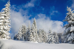 Forest covered with snow in winter, Poland Royalty Free Stock Image