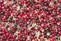 Forest cranberries background Stock Photography