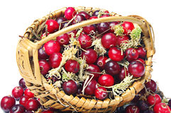 Forest cranberries with basket Stock Photo