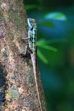 Forest Crested Lizard Royalty Free Stock Image