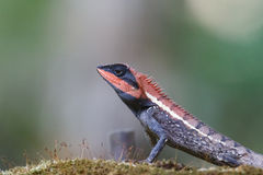 Forest Crested Lizard Royalty Free Stock Photos