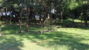 Forest crows. The crows is shot in bulgaria jambol stock video