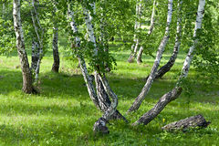 Forest with curved trees Stock Image
