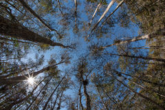 Forest of cypress trees. Looking upwards to top of towering cypress trees in forest Royalty Free Stock Images
