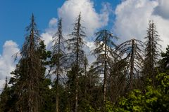 Forest damaged by bark beetles. Dried spruce. Russia Royalty Free Stock Photos
