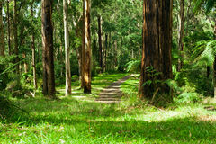 Forest, Dandenong Ranges Stock Photography