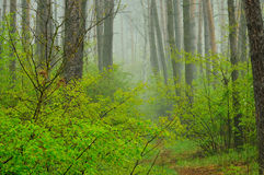Forest at dawn in light haze. Stock Photos