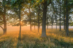 Forest dawn. A misty day Stock Images