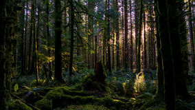 A Forest Dawn. Morning light beams in the Hoh rain forest royalty free stock photos