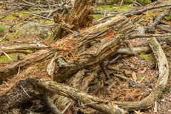 Forest Dead and Decaying Wood Royalty Free Stock Images