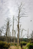 Forest of a dead pine trees Stock Images