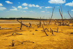 A Forest of Dead Trees. A dead tree forest in a desolate desert Stock Images