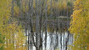 Forest of Dead Trees in the Lake. In Autumn stock footage
