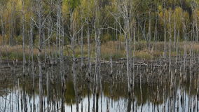 Forest of Dead Trees in the Lake stock footage