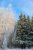Forest of deciduous and coniferous trees in winter Royalty Free Stock Images