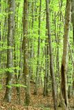 Forest of deciduous trees Stock Images