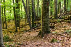 Forest of beech. Forest of deciduous trees, mostly beech Stock Photos