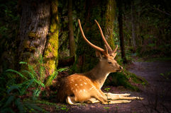 Forest deer in morning light Royalty Free Stock Photo
