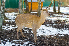 Forest deer Royalty Free Stock Photos