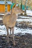 Forest deer Stock Image