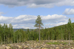 Forest After Deforestation. In Syote, Finland Royalty Free Stock Images