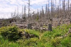 Forest destroyed by bark beetle Stock Images