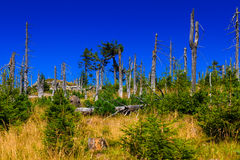 Forest destroyed by bark beetle. stock images
