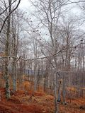 Forest Detail With Leafless White Bark Branches In Spring On A Cloudy Morning Royalty Free Stock Photos