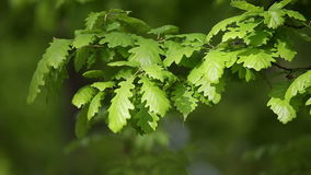 Forest detail, with young oak leaves stock video