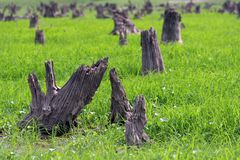 Forest devastated. By seasonal flooding of the Amazon River - Brazil royalty free stock photo