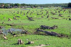 Forest devastated. By seasonal flooding of the Amazon River - Brazil stock photography
