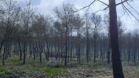 Forest devastated after fire. Burned and leafless trees. Static and long shot stock footage