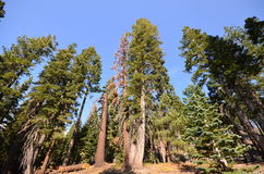 Forest in the Devils Postpile Royalty Free Stock Image